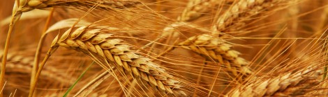 wheat-gluten-celiac-roundup-monsanto